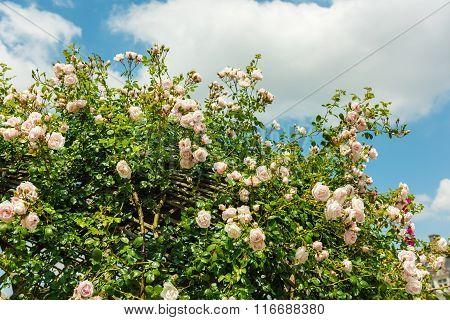 Bush Of Beautiful Roses In A Garden