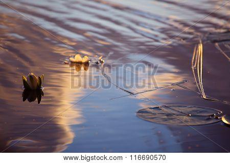 Lotus Flowers In Sunset Lake