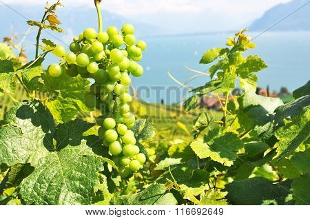 Vineyards in Lavaux region against Geneva lake, Switzerland