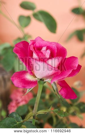 Pink Rose For Sweet Romantic Valentine Background