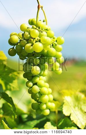 Bunch of grapes. Lavaux region, Switzerland