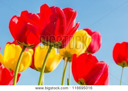 Spring Tulips On A Blue Sky Background