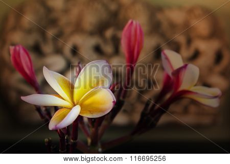Sepia And Antique Colour Tone Of Flower Frangipani Bunch On Vintage Background