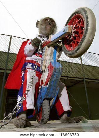 A chained gray macaque monkey wearing an American-style stars-and-stripes costume in Jakarta, Java