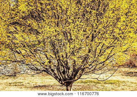 Cornelian Cherry Tree in Virginia