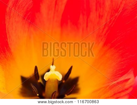 Close up Image of the Beautiful Red Tulip Flower