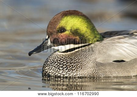 Drake Falcated Duck