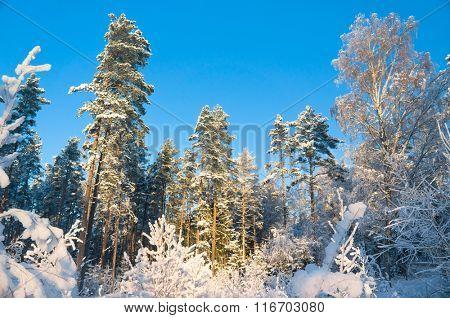 December Frost Frozen Woods