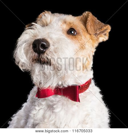 Wire fox terrier with a red bowtie, portrait on a black background.
