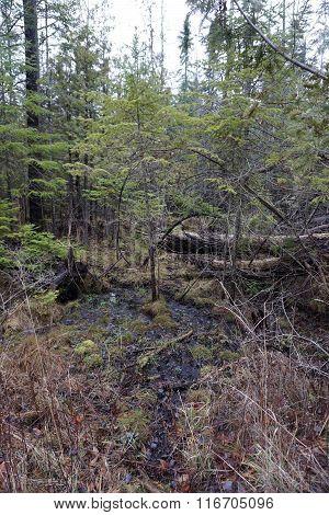 Spruce Sapling in a Swamp