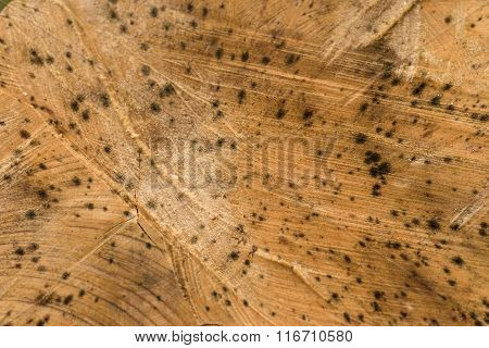 Wood texture of a recently cut down tree