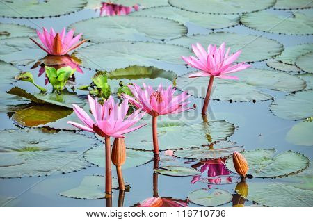 Pink Lotus Flower in Sea of Red and Pink lotus