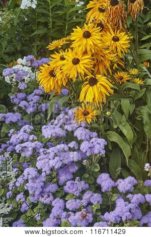 yellow coneflower and blue ageratum on green flowerbed. Old flowers.