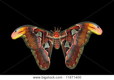 Giant Atlas Moth (attacus Atlas) Isolated On Black Background.