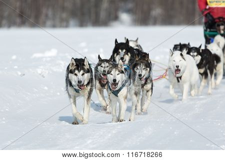 Kamchatka Dog Sled Racing Beringia. Russian Far East