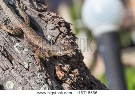 Detail of a lizard on a Brazilian tree.