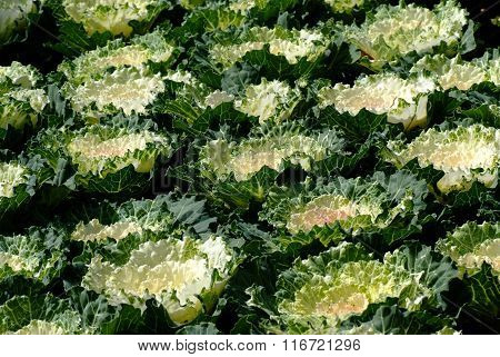 Cabbage Ornamental 2