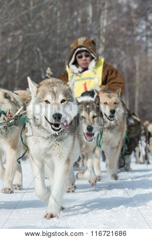 Kamchatka Extreme Dog Sledge Race Beringia. Russian Far East, Kamchatka Peninsula