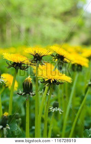 Dandelion flowers vertical sideview