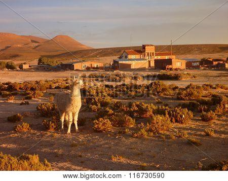 Llama At The Beautiful Sunset At Altiplano