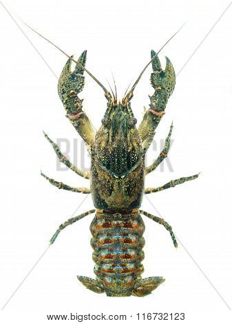 American Spiny-cheek Crayfish (orconectes Limosus) Invasive To Europe