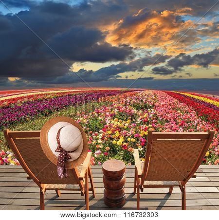 Spring ranunculus Bloomingdale - grow multi-colored strips. Two chaise lounges for rest stand on a scaffold at a picturesque flower field. On one chaise lounge the elegant straw hat hangs