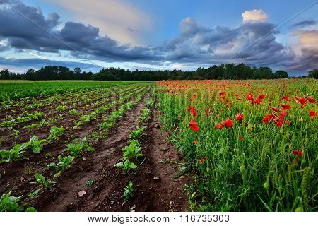 A Poppy Field And A Beet Field In Latvia