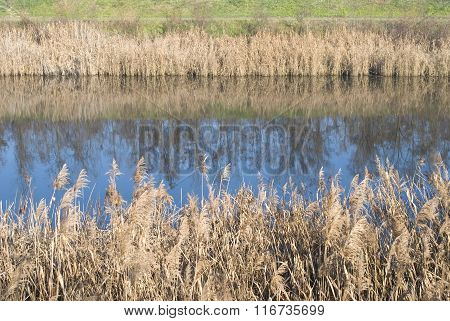 Reed plant refection in water, warm colors