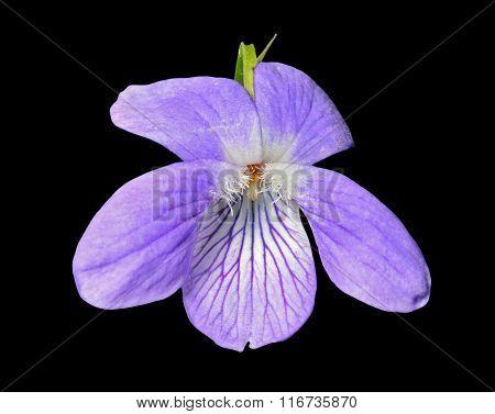 Flower Of Wild Violet