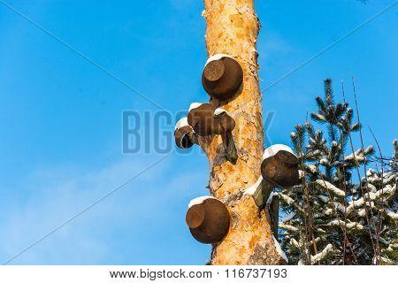 Cast-iron Pots On The Pine.