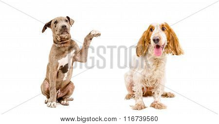 Pit bull puppy and Russian spaniel sitting together