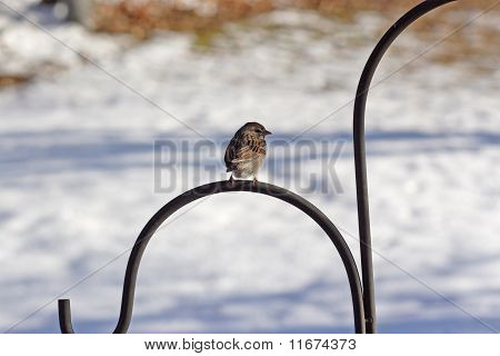 A Sparrow Perched Backward