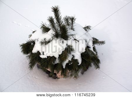 Snow On Young Pine Tree.