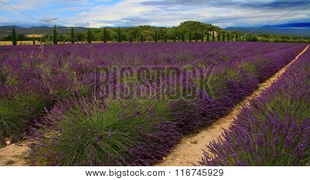 Summer Landscape With Lavender Field In Provence, Southern France. Filter Applied