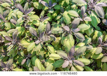 Salvia In The Garden - Top View