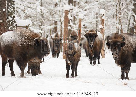 European Bisons In Winter In Orlovskoye Polesie National Park In Russia