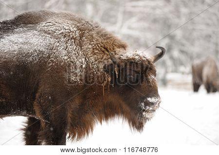 Mature Male European Bison In Winter In Orlovskoye Polesie National Park In Russia