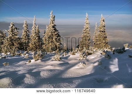 Snowscapes spruce above the clouds in winter