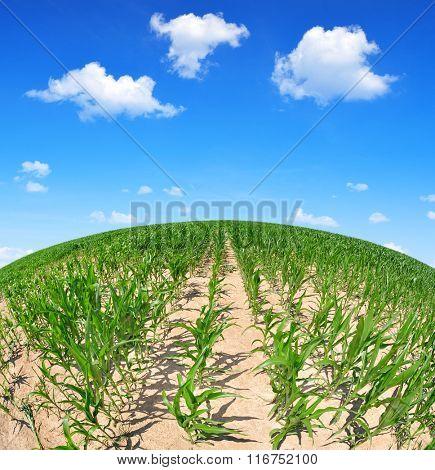 Corn field in sunny day. Fisheye shot.