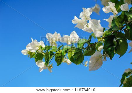 Flowering Bougainvillea Trees In The Summer Park