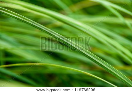 Green Reeds In The Swamp