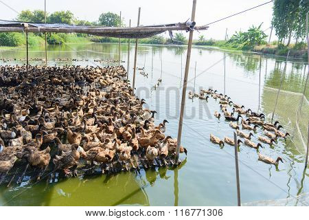 Duck In Farm, Eat And Swimming In Marsh
