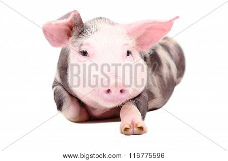 Portrait of the funny little piglet