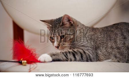 Striped Domestic Cat Plays With A Toy