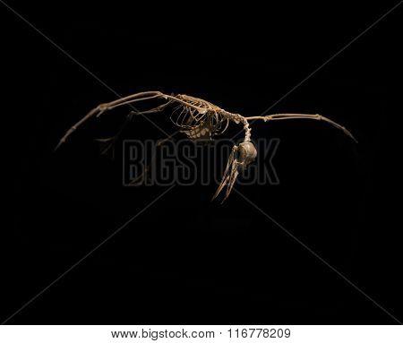 skeleton birds in flight on black background