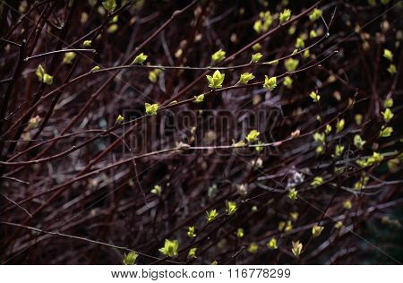 willow branches with buds blossoming