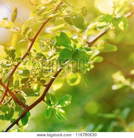 Spring leaves lit by sunlight