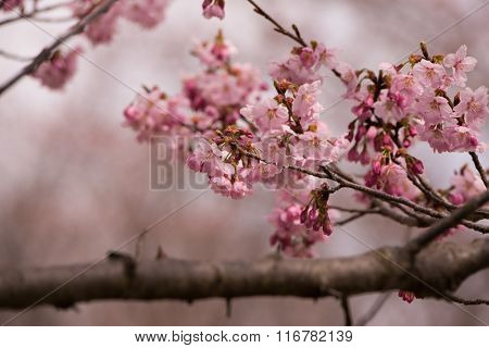 Cherry blossom in early spring with many flower buds in darker pink color, Shallow depth of field.