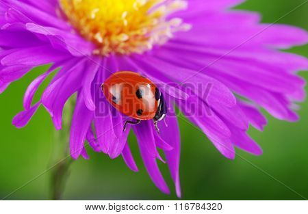 Ladybug on flower and the green background
