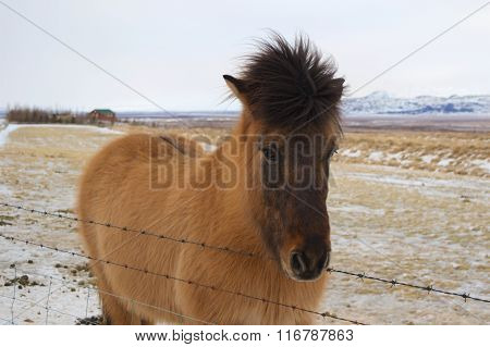 Icelandic Horse in Iceland